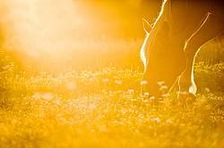 Horse grazing in golden light