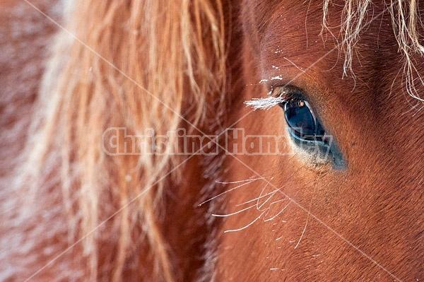 Frosted eyelashes on horse