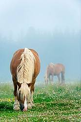 Belgian horses grazing on summer pasture