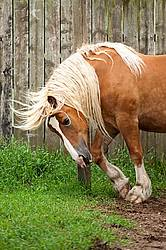 Belgian draft horse scratching on post