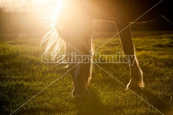 Horse grazing in early evening light