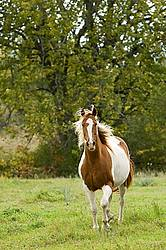 Paint horse trotting though autumn pasture
