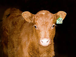 Baby beef calf standing in doorway