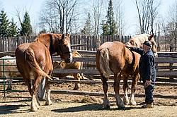 Farmer brushing Belgian horses