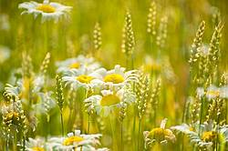 Multiple exposure photo of daisies and wheat