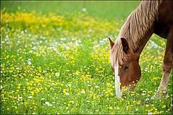 Young Belgian drat horse