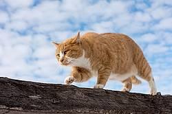 Orange and white barn cat