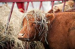 Cow With hay on Her Head