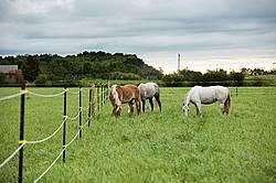 Three horses grazing on summer pasture