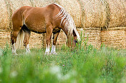 Belgian draft horse grazing on summer pasture.