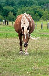 Chestnut horse walking in field