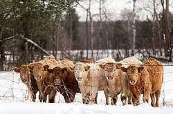 Six Yearling Heifers