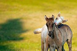 Two Rocky Mountain horse foals playing