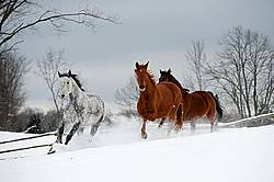 Three horses galloping in deep snow