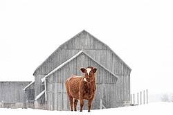 Beef cow standing outside in the falling snow