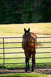 Bay Quarter Horse gelding standing at gate