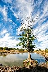A tree growing beside a big pond on a cattle pasture