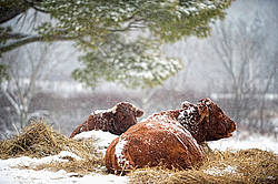 Beef cow laying on a bed of straw outside in the snow