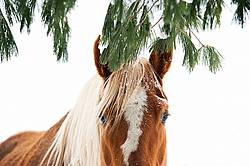 Horse standing in snow under trees.