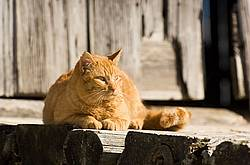 Orange cat laying in front of barn