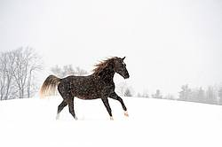 Photo of a Rocky Mountain Horse