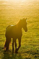 Friesian horse in a pasture field at sunset.