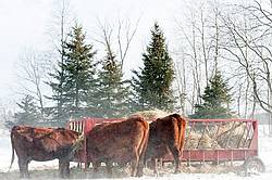 Beef cows eating hay out of feeder