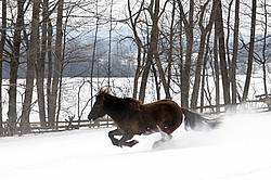 Dark bay Icelandic horse running through deep snow