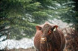 Beef Cow in the Rain