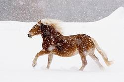 Belgian draft horse galloping in the snow.