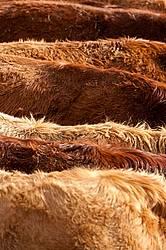 Closeup of beef cows