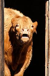 Beef Heifer Mooing