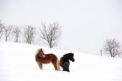 Icelandic horses standing in deep snow