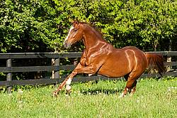 Thoroughbred horse running around paddock