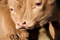 Two Baby Beef Calves