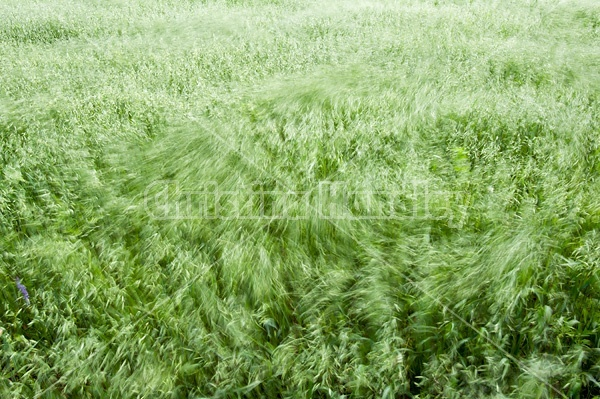 Wind blowing through a field of oats
