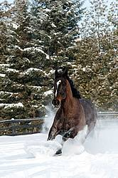 Bay thoroughbred horse galloping through deep snow