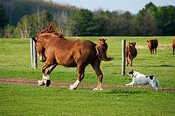 Farm dog chasing horse