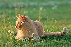 Orange barn cat outside in grass