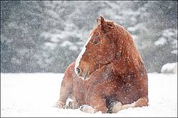 Belgian draft horse laying down in snow
