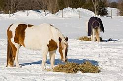 Paint horse eating hay outside in the winter off the snow.