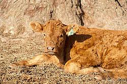 Cute beef calf