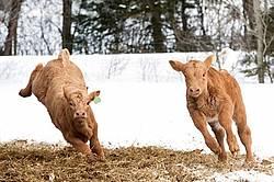 Young Charolais Beef Calves