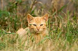 Orange kitten laying in tall grass.