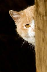 Orange and white barn cat peeking out of barn.
