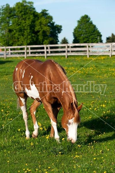 quarter horse on summer pasture