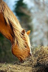 Chestnut horse eating hay