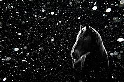 Horse in black and white backlit by the setting sun with snow falling