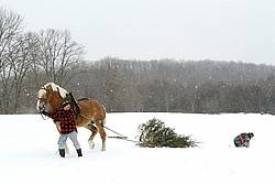 Husband and wife pulling a Christmas tree home with their Belgian horse