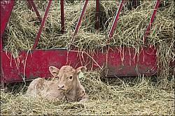 Young baby beef calf laying down by hay feeder